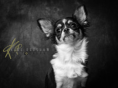 Chihuahua (Karl Redshaw Photography) Tags: portrait dog pet chihuahua animal toy friend canine smalldog doggy breed companion loyal handbagdog ciwawa