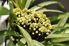 umbrella plant (UMBRELLA PALM) explore (DOLCEVITALUX) Tags: plant fauna flora philippines foliage medicinalplant umbrellasedge umbrellapalm mbrellaplant