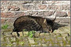 In het zonnetje (mefeather) Tags: city haarlem animals cat kat nederland thenetherlands dieren stad noordholland