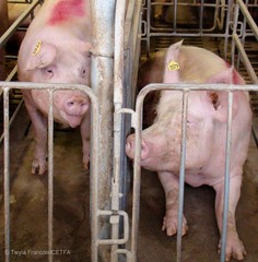 Sows in stalls - extended tongues are a stereotypy due to chronic hunger. Sows in stalls are generally fed just once a day. (Twyla Francois) Tags: against metal barn concrete tim bacon injury sausage stall pork hunger horton chewing swine piglet pressure crate wound operation hog sow sham abuse thump pac suffer confinement laceration beheaded aural gestation decapitate injure pounded haematoma stereotypy