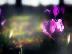 our lives  forever caught in a dream (olipennell) Tags: flower pen crocus olympus blume krokus ipad 100camerasin1