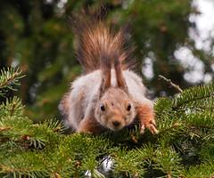A Creature Between Dimensions (TomiTapio) Tags: cemetery helsinki eyes squirrel iso400 tail ears stare orava staring tame écureuil hietaniemi upatree sciurusvulgaris sqrl eartufts eurasianredsquirrel kurre canonef90300mmf4556usm