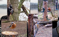 Spring Bird Collage. (eric robb niven) Tags: bird collage canon scotland loch dunkeld lowes g12