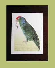 """The Red-headed Amazon"" (YokosGallery) Tags: portrait pets art birds watercolor print etsy parrots gclef musicsheet musicnote redcrownedparrot yokosgallery birdartprint redheadedamazonparrot"