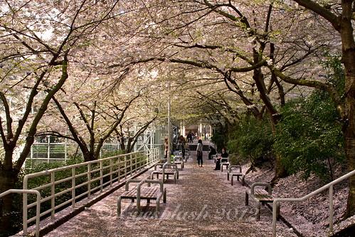 sakura festival in Vancouver, British Columbia