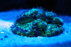 coral aquarium reef braincoral