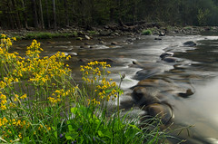 Wildflowers at the Stream (Greg Holtfreter) Tags: spring greatsmokymountainsnationalpark gsmnp singhray d7000 varinduo gregholtfreter