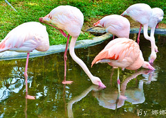 大紅鶴 (娜 娜☂Nana) Tags: cute love animal animals zoo nikon expression flamingo expressions taiwan greater lovely 台灣 digitalcameraclub i 紅鶴 我愛台灣 d7000 thewonderfulworldofbirds