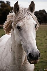 Moncalvillo #1 (Perluti) Tags: madrid horse naturaleza verde primavera nature animal caballo spring nikon natura pasto animales prado 70300mm comunidaddemadrid zaldia udaberria moncalvillo pedrezuela d3000 nikond3000 perluti mikelaguirre