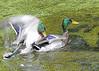 Hanky Panky (stroonz) Tags: two ducks males mallards hanky copulation panky homosexsual thewonderfulworldofbirds