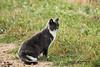 "Farm kitty mousing  DSC_5951 (Trish Sweett) Tags: pet cats cat nikon kitten feline farm kitty domestic short dsh "" adultcat ""nikon d80 hair"" ""farm cat"" ""domestic d80"" pet"""