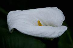 White Silk (Nick Twyford) Tags: newzealand flower colour texture closeup nikon lily 200mm d7000