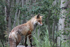 Fox (BeerAndLoathing) Tags: 2012 canon colorado fox july mountains outdoors summer usa wildlife