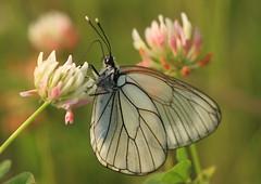 Aporia crataegi-Black-veined White (Aviantic) Tags: white blackveined