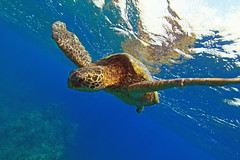 rough water swim (bluewavechris) Tags: ocean life blue sea brown green tourism nature water animal coral swim canon hawaii marine underwater snorkel turtle reptile wildlife dive shell maui creature flipper 1022 sustainability ecotourism seaseahousing t1i