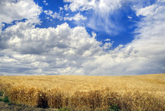 Walla Walla Storm Chasing (Darrell Wyatt) Tags: blue sky white storm field clouds rural gold wheat thunderstorm hdr wallawalla dud