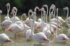 Flamingos (annalisabianchetti) Tags: france flamingos francia camargue fenicotteri