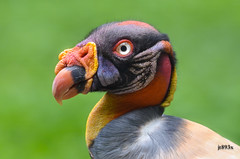 King Vulture 072812ac (jt893x) Tags: bird nikon sigma vulture kingvulture sarcoramphuspapa 150500mm d7000