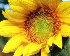 Morning Rain & Sunshine (Flickr Goot) Tags: morning light flower rain canon eos high dynamic july sunflower range hdr highdynamicrange 2012 tonemapped tonemapping tonemap 60d