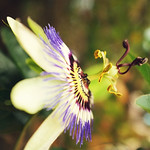Blue Passion flower thumbnail