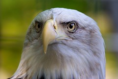 Pygargue  tte blanche #2 (m4mboo) Tags: zoo animaux oiseau attilly highqualityanimals