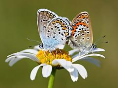 Silver-studded Blue_Plebejus argus (Valerian M.1) Tags: blue macro nature butterfly europa europe small ngc butterflies romania transylvania mariposas canoneos brasov romanians butterflyworld farfalle plebejusargus silverstuddedblue top20butterflymoth silverblue romnia azur ef100400mmf4556lisusm europeanbutterflies argusbleu butterflysmall 1000d canoneos1000d eosdigitalrebelxs butterflieseurope fluturidinromnia butterfliesofeurope butterflyworldproject robutterflies butterfliesro butterflyromnia fluturiromania fluturidinromania fluturiromnia