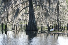 Moss (juliealicea1947) Tags: moss louisiana swamp sorrento