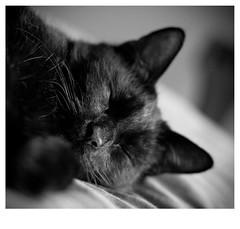 Simn (Natushhhhh) Tags: pet cats blackcat furry kitten feline gato purr felino chatnoir gatonegro gatopreto gattonero purry