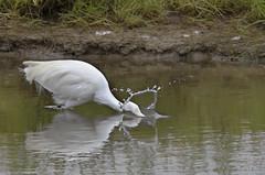 Little Egret (@JPD_Photography) Tags: water birds nikon wildlife deeside littleegret connahsquay d7000 sigma150500mmf563apodgoshsm cqnr