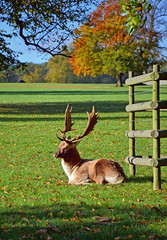Stag at Burghley (Dun.can) Tags: morning autumn trees fall sunshine october stag lincolnshire deer autumncolours fallowdeer stamford burghley burghleyhouse burghleypark