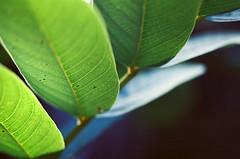 STAIRWAY (La Branaro) Tags: green film leaves austin texas kodak bokeh grain olympus 35mmfilm shallowdepthoffield zilkergardens ektar om4 om4ti pushprocessing zuikomacro ektar400