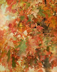 Oak Leaves Turning Red (scilit) Tags: autumn red tree nature leaves oak redoak textured memoriesbook awardtree tatot artistictreasurechest magicuniverse