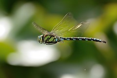 Blaugrne Mosaikjungfer (Aeshna cyanea) 4728 (fotoflick65) Tags: bug linz insect flying inflight dragonfly iso400 flash libelle insekt f8 garten 32 leopold bof botanischer fl300 fliegende aeshna cyanea blaugrne mosaikjungfer fliegend 300mmf4d st1000 d7000 kepplinger y2013 fl250300 st8001600 fotoflick65 ni300 ym09