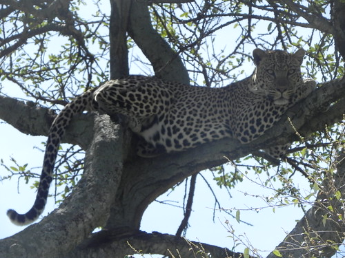 Leopard relaxing on a tree