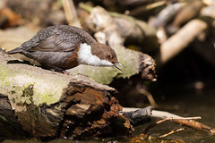 Dipper (twodeeswildlife) Tags: bird canon woodland river log perched dipper cincluscinclus bronwenydwr