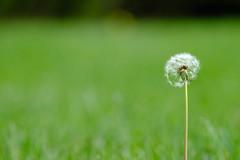 e pluribus unum (DHaug) Tags: grass spring weed unitedstates many lawn may seed motto dandelion fujifilm 2016 sooc xpro2 xf100400mmf4556rlmoiswr
