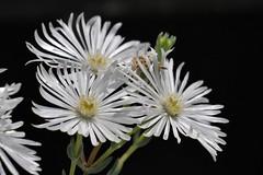 /Delosperma karroicum (nobuflickr) Tags: awesomeblossoms 20160519p1060318  delospermakarroicum