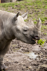 Black Rhino (Hank888) Tags: blackrhino chesterzoo hank888