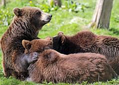 Brown bear Hoenderdaell JN6A0618 (j.a.kok) Tags: bear beer brownbear bruinebeer specanimal specanimalphotooftheday hoenderdael