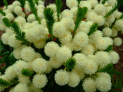 Berzelia lanuginosa (yewchan) Tags: flower nature colors beautiful beauty closeup garden flora colours gardening vibrant blossoms blooms lovely berzelia berzelialanuginosa