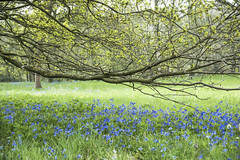 Bluebells (kevinkpc) Tags: sigma1850mm sonya700 anstonstonewoods