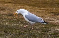 Herring gull (Larus orgentatus) / Silfurmfur (thorrisig) Tags: seagulls bird birds island iceland gulls fugl sland orri herringgull thorri dorres mfur fuglar mvur mfar icelandicbirds mvar silfurmfur orfinnur thorfinnur thorrisig orrisig thorfinnursigurgeirsson orfinnursigurgeirsson silfurmvur slenskirfuglar larusorgentatus 30042016