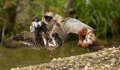 Ruff-stuff_2896 (Peter Warne-Epping Forest) Tags: uk bird battle ruff territory breedingplumage philomachuspugnax breedinggrounds