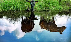 Cows and water (Jorden Esser) Tags: reflection water grass clouds cow canal cows drinking bluesky grassland middendelfland nederlandvandaag