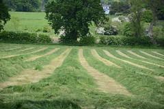 Rows And Tuffs (Richard Ruane) Tags: tree grass cheshire lane bent