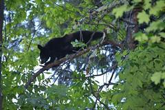 Going out on a limb (stevelamb007) Tags: bear nature nikon tennessee wildlife smokymountains blackbear stevelamb d7200