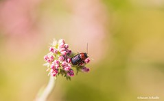A jewel-toned beetle on buckwheat (Photosuze) Tags: flower nature flora colorful bokeh wildlife insects beetles redandblack pollination buckwheet