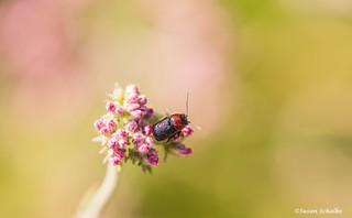 A jewel-toned beetle on buckwheat