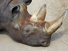 Nashorn - Rhinocerotidae (SabineausL) Tags: nature animal lumix zoo natur grau leipzig panasonic tired afrika horn tierpark gros zoologischergarten einhorn fett nashorn rhinocerotidae zooleipzig zoologischergartenleipzig sabineausl tz61 dmctz61