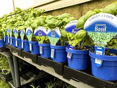Basil Plants (MichaelTurnell) Tags: basil